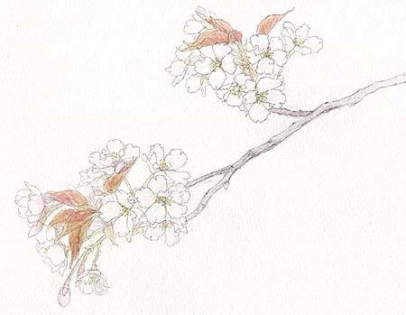 桜(品種不明).jpg